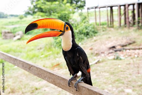 In de dag Toekan Toco toucan bird in boca de valeria, brazil.