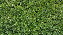 Green Wall Hedge Boxwood