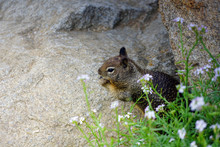 Ground Squirrel On The Beach S...