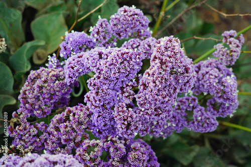 Purple and white statice flowers (limonium sinuatum) Canvas Print