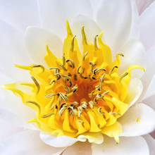 Beautiful White Water Lily Det...
