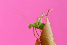 Green Grasshopper On Rose-bran...