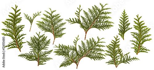 Fotografia  Fresh green pine leaves isolated on white background