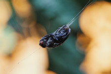 Fly Trapped On A Spiderweb