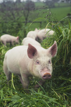 Pigs In The Long Grass