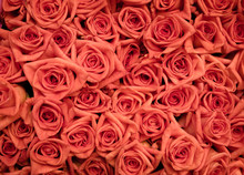 Orange Roses Tightly Bunched Together