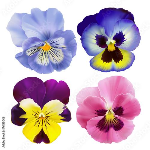 Fotografie, Obraz  Pansy flowers