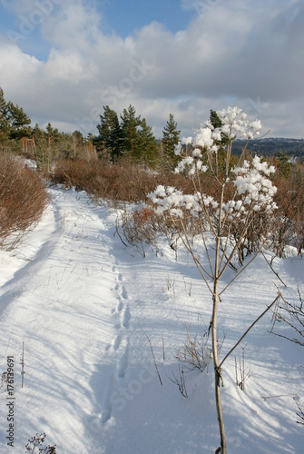 Fotografie, Obraz The landscape with the high snow-covered umbelliferous plant, the path and the far forest on the winter sunny day