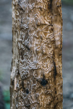 Close Up Of Pine Tree Wood Bur...