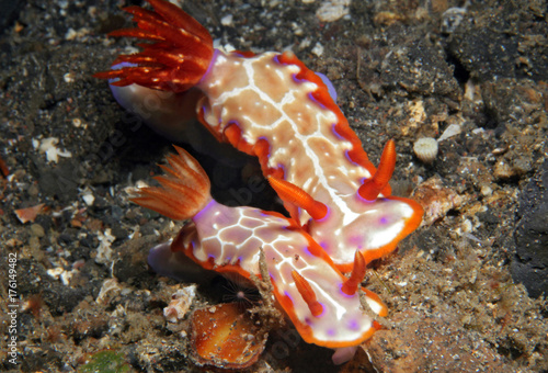Hypselodoris Iacula Couple. Lembeh Strait, Indonesia
