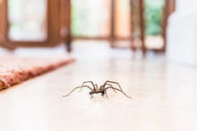 Common House Spider On A Smoot...