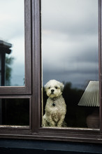 Lhasa Apso At The Window