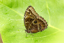 Owl Butterfly Resting On A Bri...