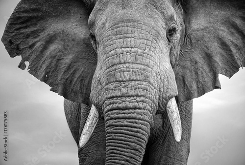 Close-up of a male elephant with ears extended Canvas Print