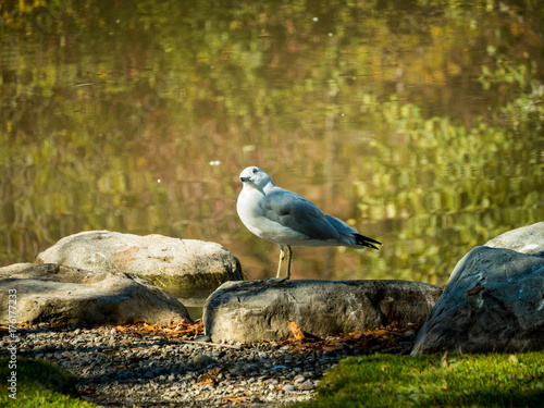 Fotografie, Obraz  A common mew gull sits beside a pond on a crisp, sunny autumn day