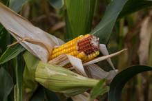 Overripe Corn On The Stalk