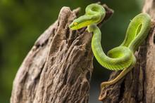 Green Pit Viper Snake (Trimere...