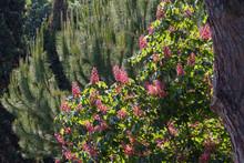 Red Horse-chestnut Tree In Park. Briotii Aesculus Plant