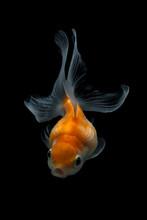 Portrait Of A Goldfish