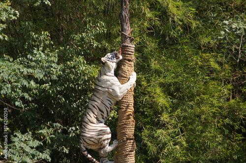 Plakat Tygrys bengalski