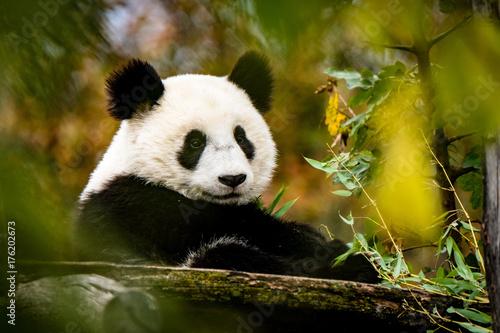 Stickers pour portes Panda Panda blickt zur Kamera