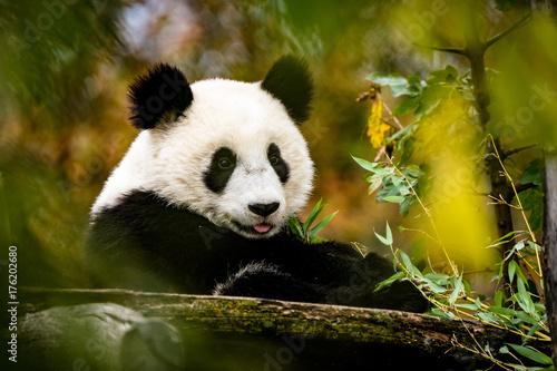 Deurstickers Panda Großer streckt die Zunge raus