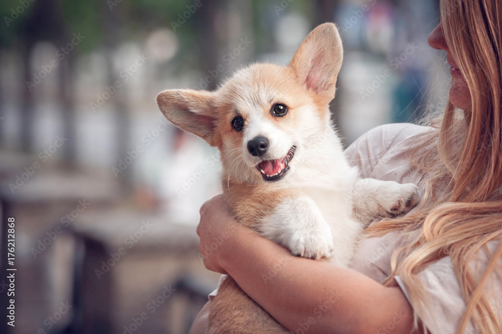 Fototapety, obrazy: Welsh corgi pembroke puppy on its owners hands