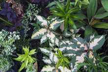 Summer Leafy Photo Background. Tropical Foliage Plant In Exotic Garden.