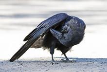 Common Raven (Corvus Corax) Preening Wings In Algonquin Park, Canada