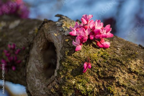 Fotografie, Obraz  Redbud blooms on a tree limb