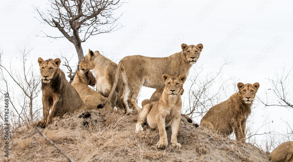 Fototapeta Young lions from a pride look scan their horizon from a termite mound