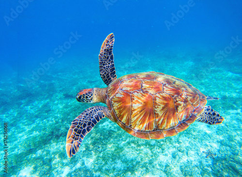Poster Tortue Sea turtle swims in sea water. Big green sea turtle closeup. Wildlife of tropical coral reef.