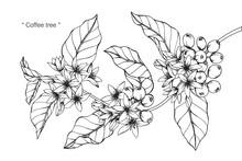 Coffee Tree Drawing.