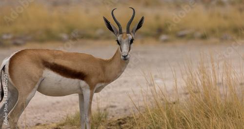 Foto op Plexiglas Antilope Springbock mit Freitextfläche