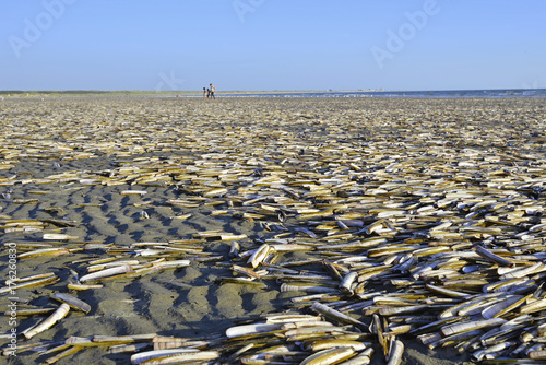Obraz na plátně Many razor clams at coastline beach the Netherlands