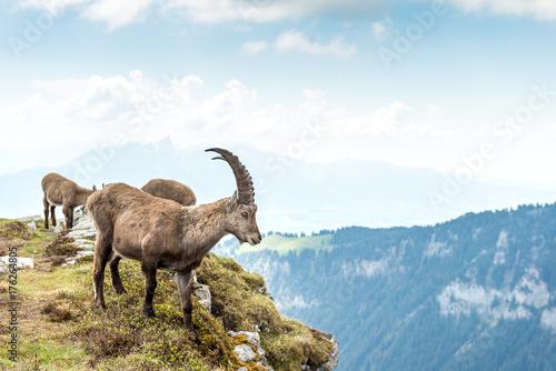 Fotografia  Männlicher Steinbock, Berner Oberland, Schweiz