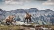 Männlicher Steinbock mit Jungtieren, Berner Oberland, Schweiz