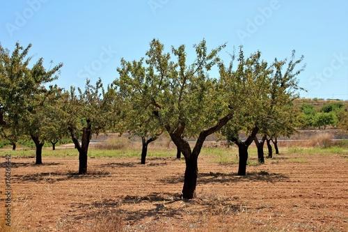 Photo sur Aluminium Oliviers plantage