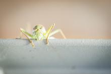 Portrait De Cricket
