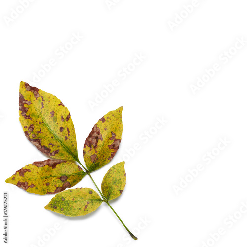 Fotografie, Obraz  Autumn colors ash leaves closeup on white background