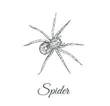 Spider Sketch Vector Illustrat...