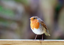 Cute Robin Redbreast Perched On A Wooden Fence
