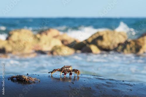 Vászonkép  small crabs