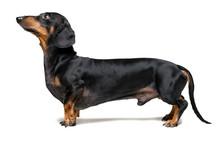 A Dog (puppy) Of The Dachshund...