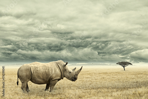 Fotobehang Neushoorn Rhino standing in dry African savana with heavy dramatic clouds above