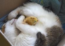 Cat Warms Chicken