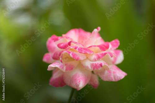 Fototapeta Różowy róża kwiatu okwitnięcie w ogródzie, dekoracja kwiat
