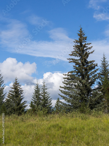Fotografija  Evergreen Trees and Grass - Alaska