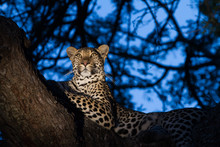 A Leopard At Dusk, Looking Ale...