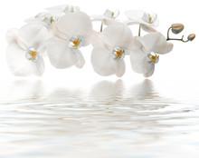 Orchidée Blanche, Reflets Rem...